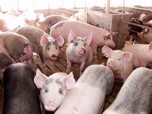 swine-medium